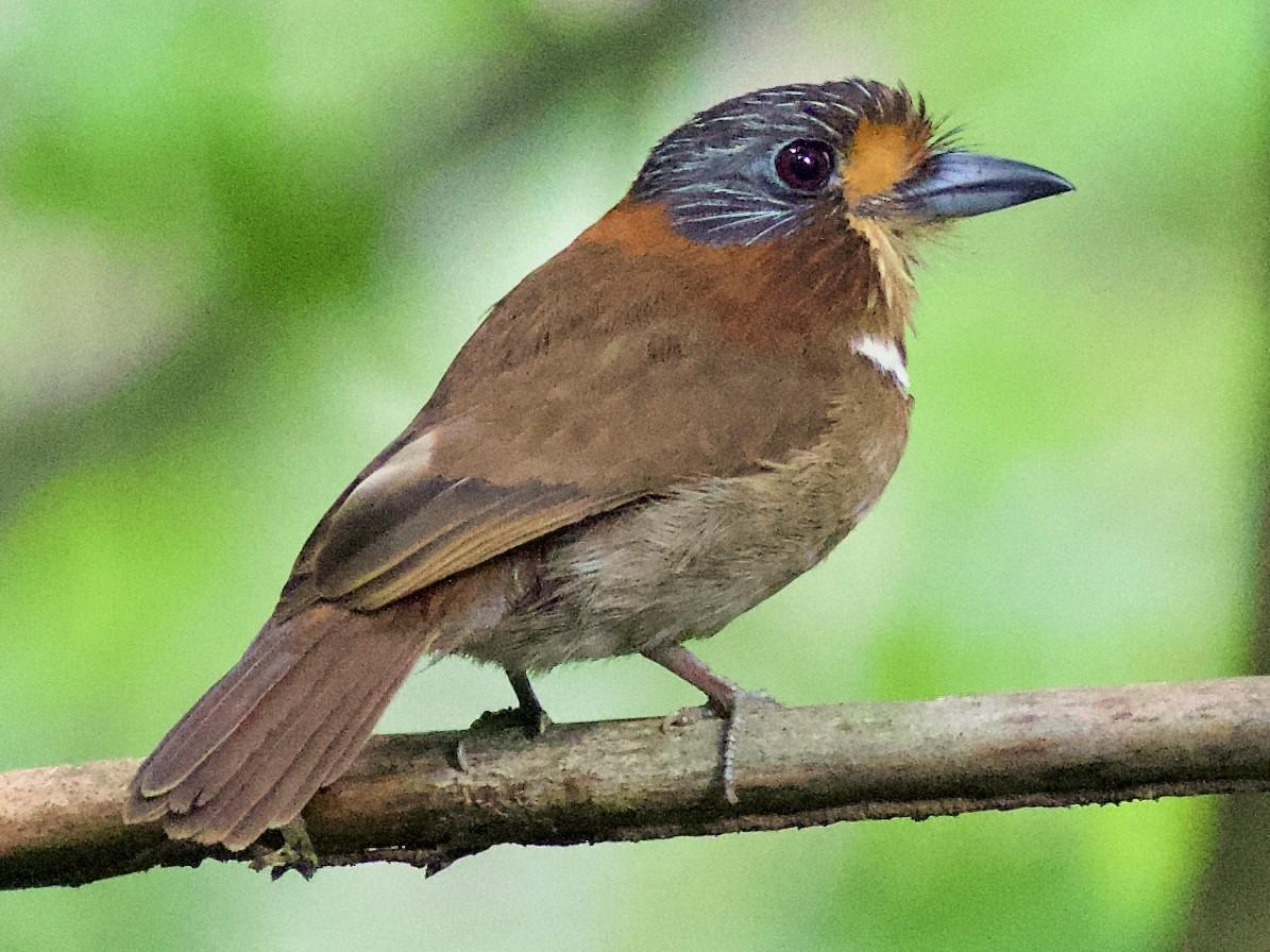 Rufous-necked Puffbird - Luiz Matos