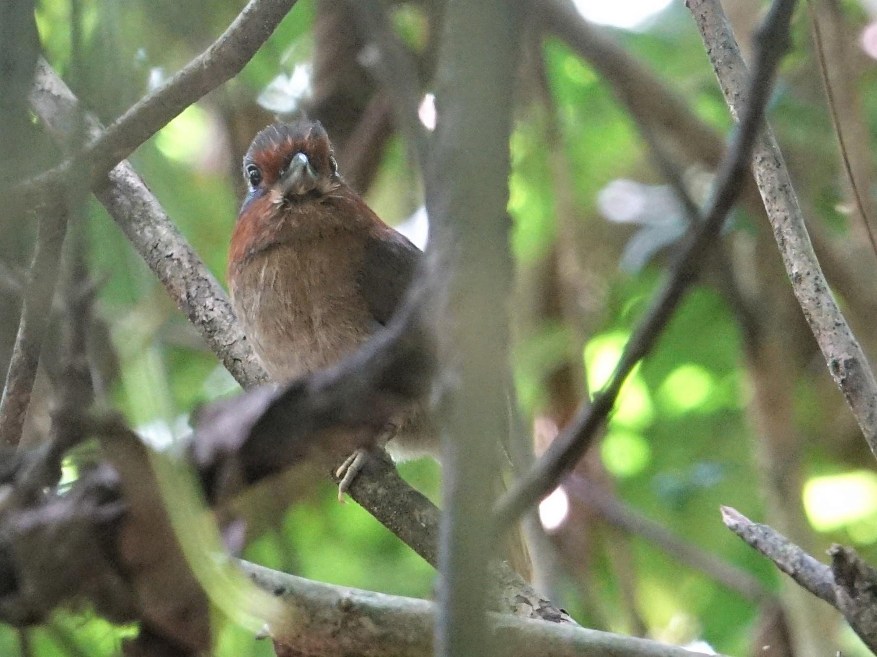 Rufous-necked Puffbird - Ottavio Janni