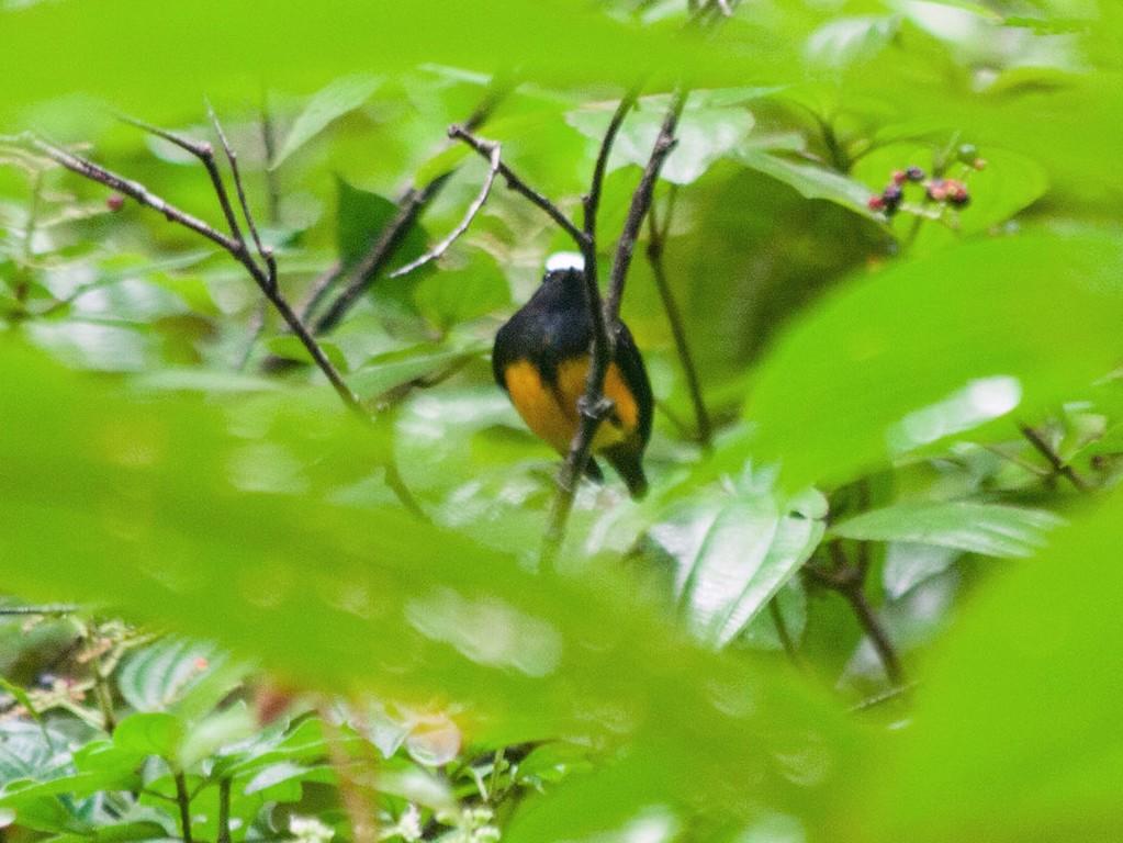 Orange-bellied Manakin - Leon Moore