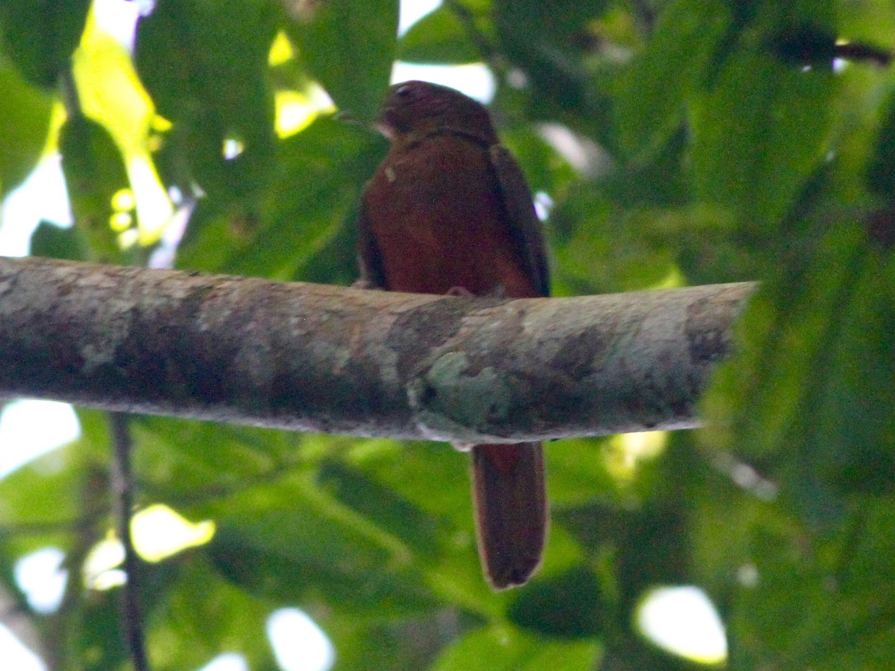 Guianan Red-Cotinga - Anthony Collerton