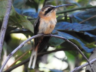 - Cinnamon-throated Hermit