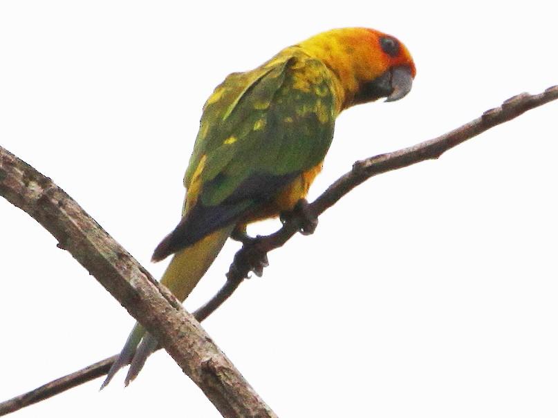 Sulphur-breasted Parakeet - Alexander Lees