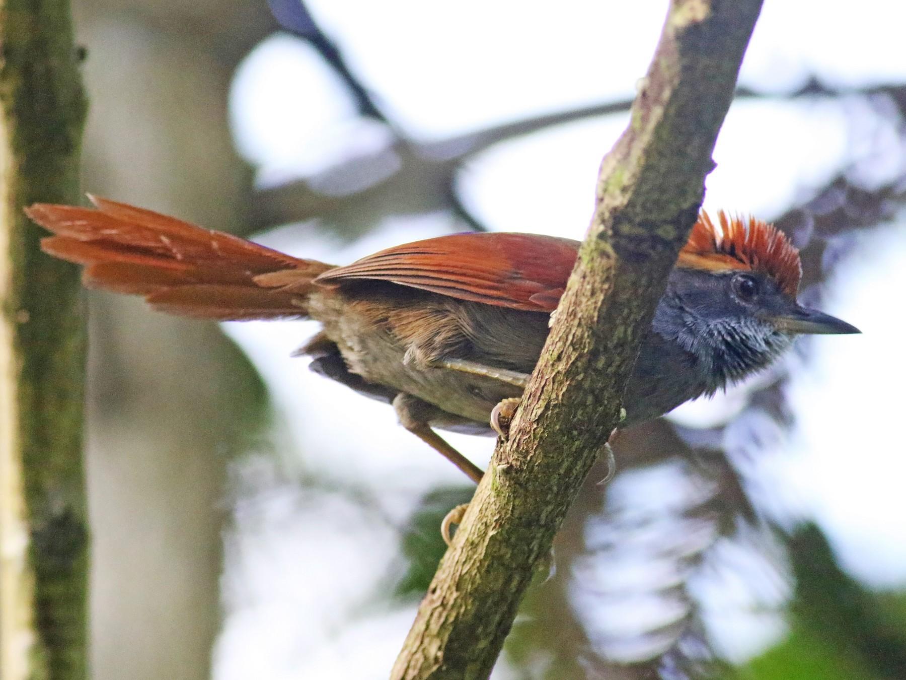 Bahia Spinetail - Daniel Branch