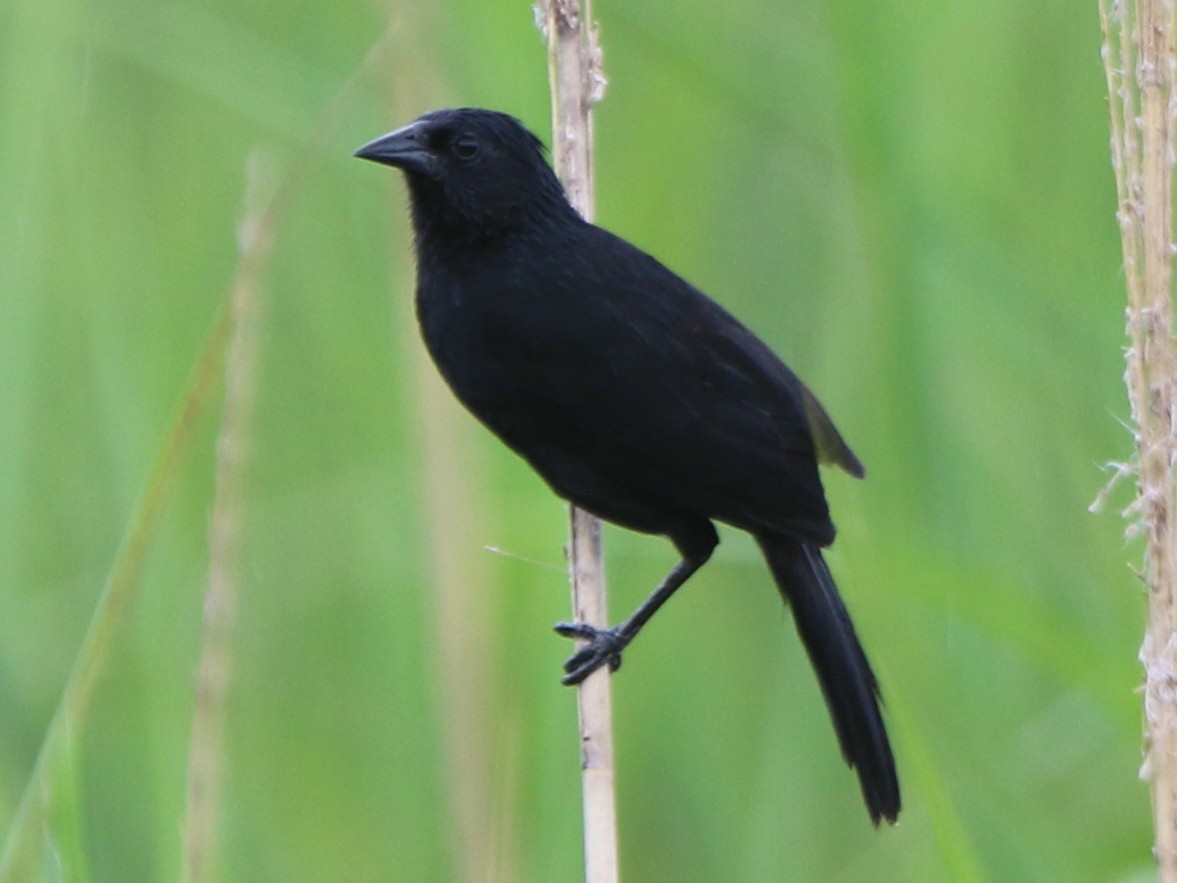 Forbes's Blackbird - Thompson Ian