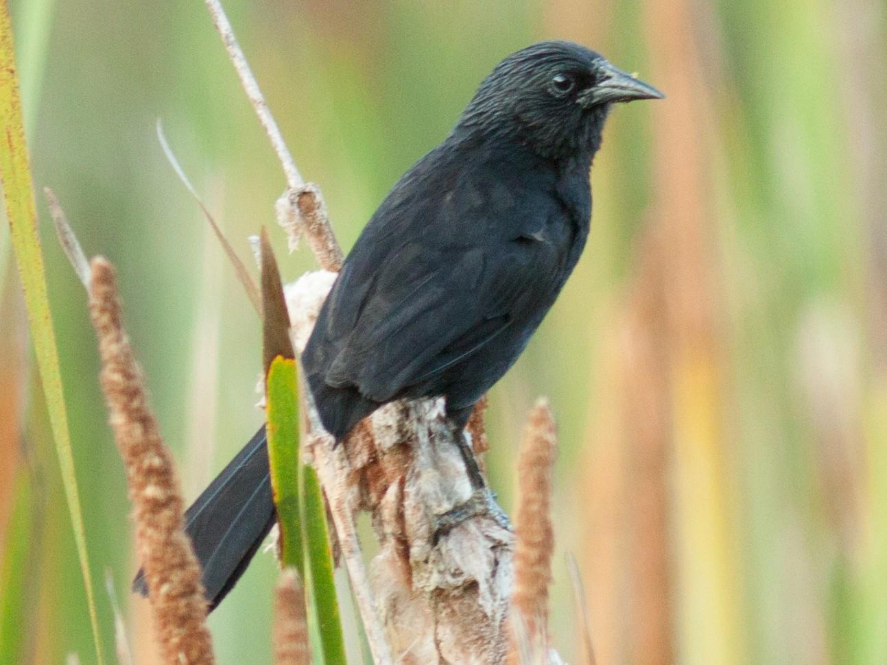 Forbes's Blackbird - Helberth Peixoto