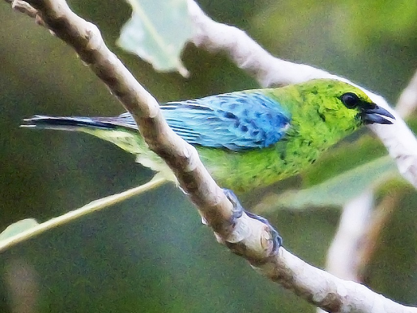 Dotted Tanager - Myles McNally