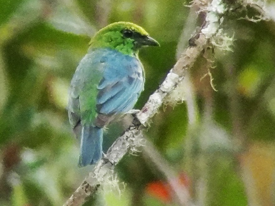 Dotted Tanager - Daniel Lane
