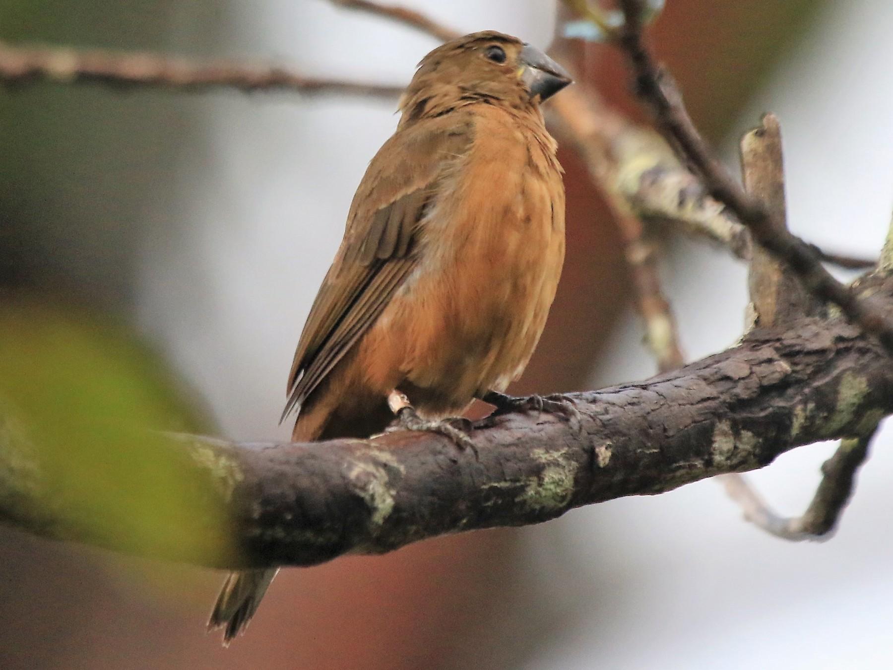 Great-billed Seed-Finch - Fabio Olmos