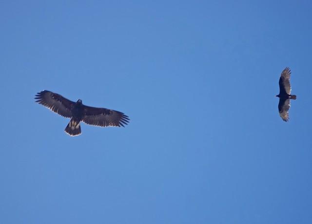 Immature Golden Eagle (left) with Turkey Vulture (<em>Cathartes aura</em>) (right).