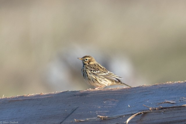 ©Blair Dudeck - Red-throated Pipit
