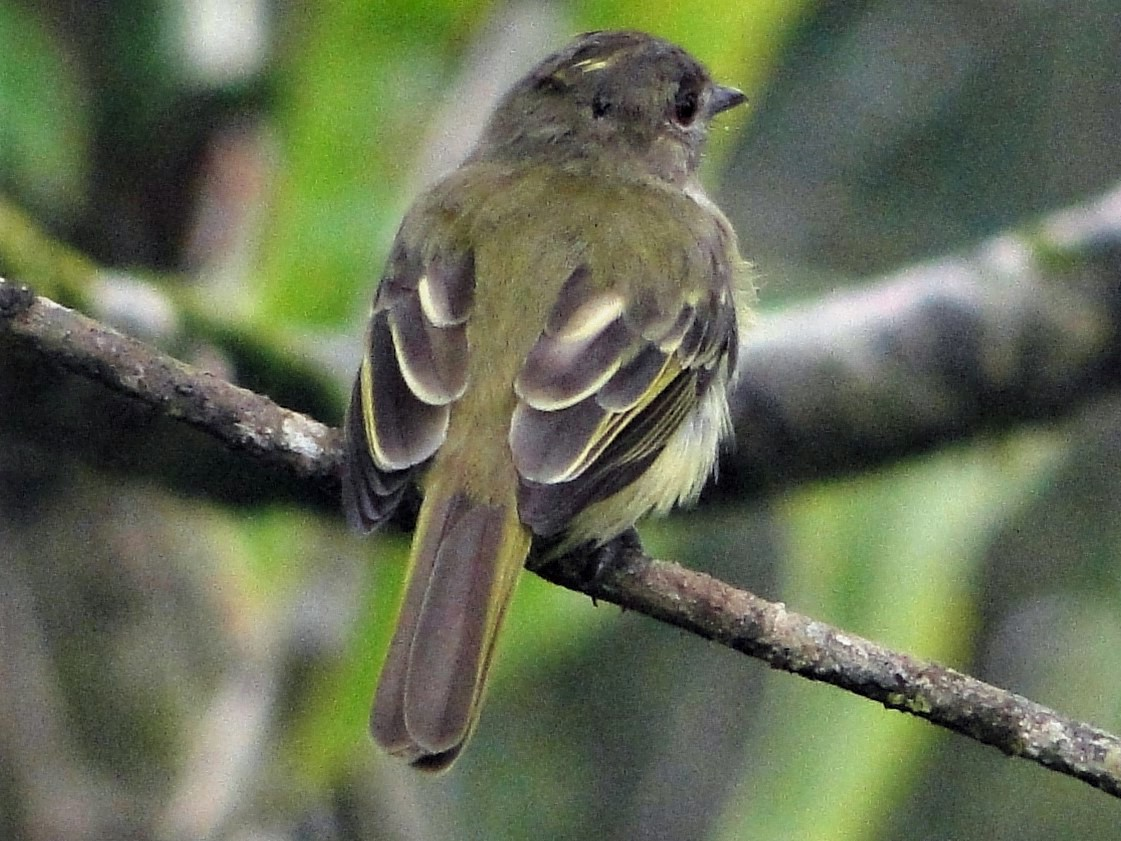 Yellow-crowned Elaenia - Carlos Otávio Araujo Gussoni