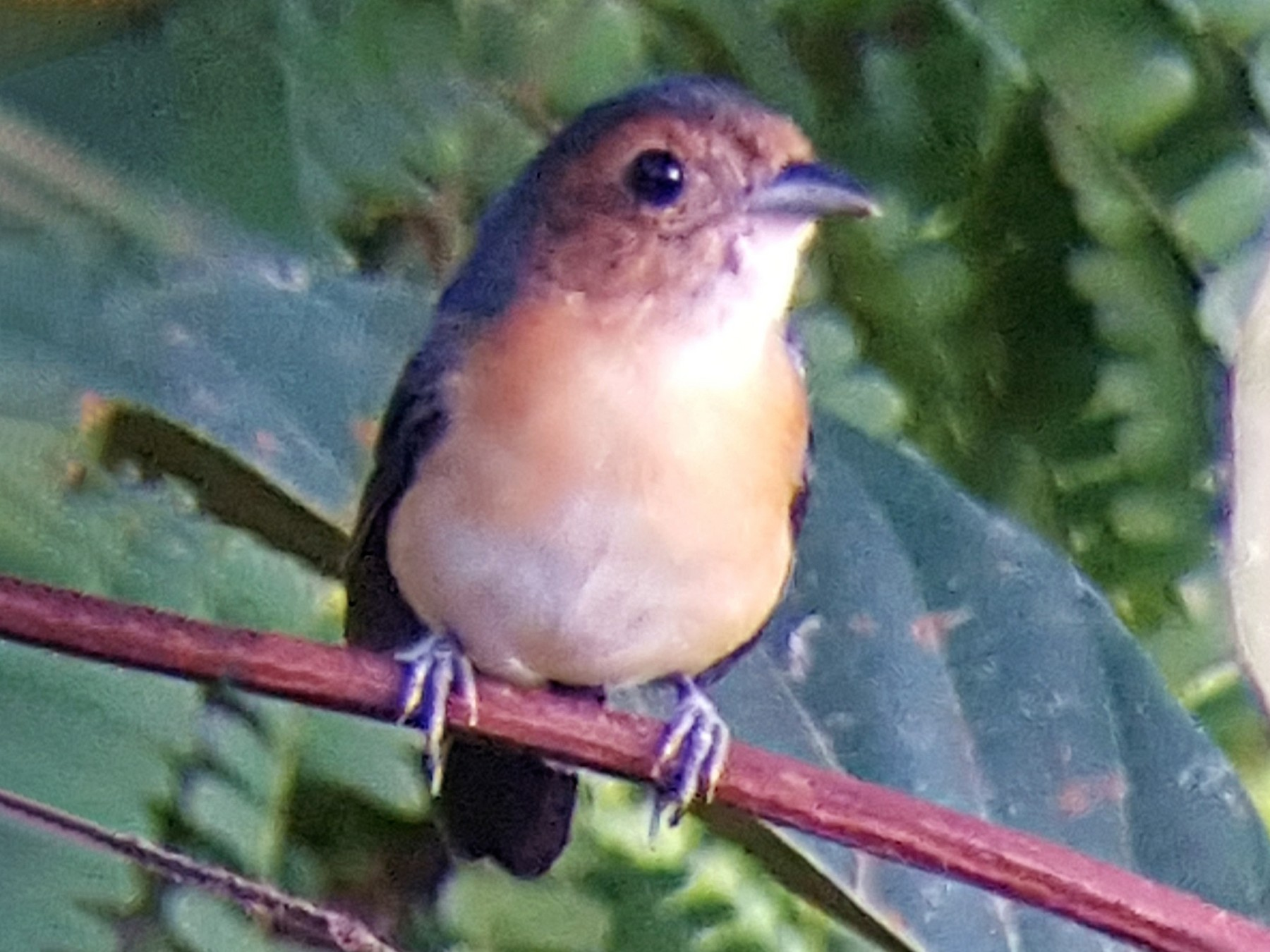 Rose-breasted Chat - Nancy Cox