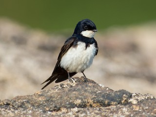 - Black-collared Swallow