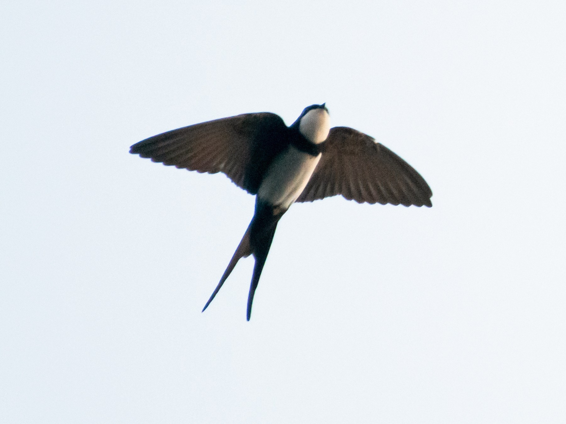 Black-collared Swallow - John Sterling