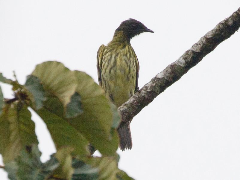 Bearded Bellbird - Silvia Faustino Linhares
