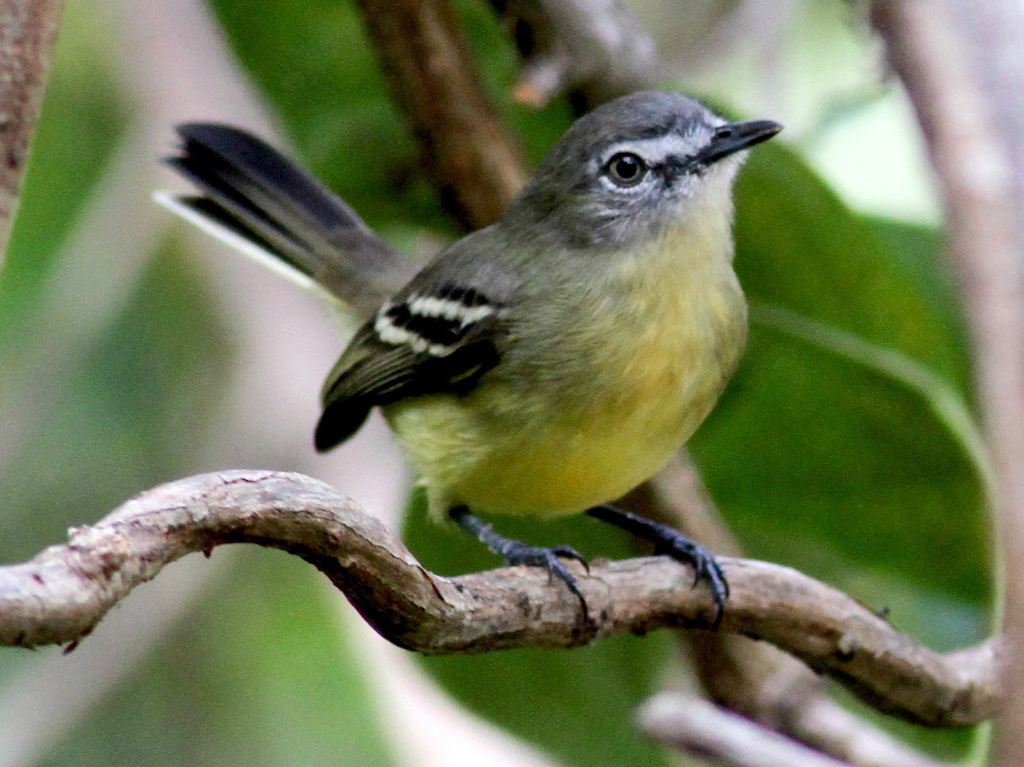 Pale-tipped Tyrannulet - Jay McGowan