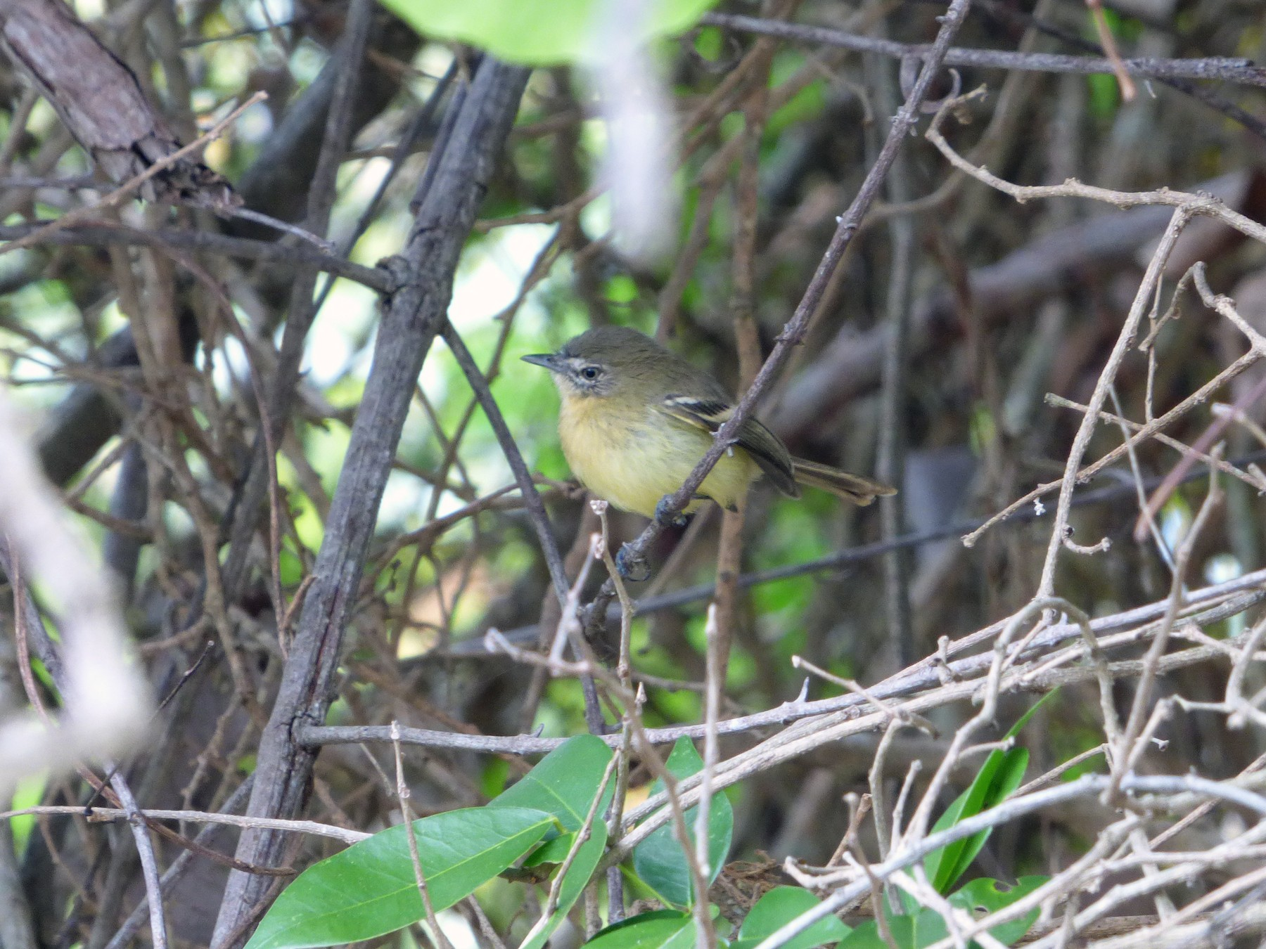 Pale-tipped Tyrannulet - Bill Crins