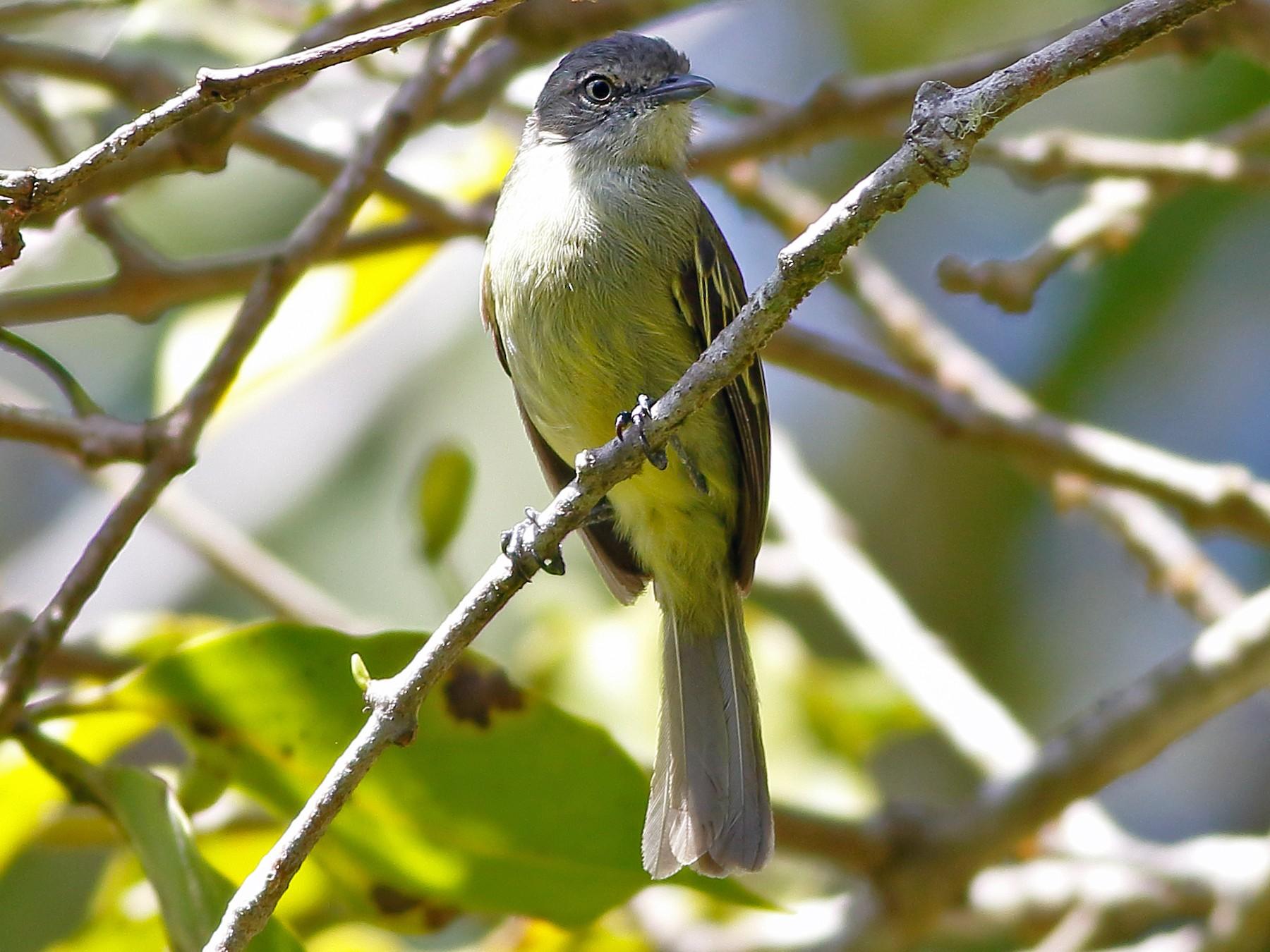 Guianan Tyrannulet - Paulo Lahr