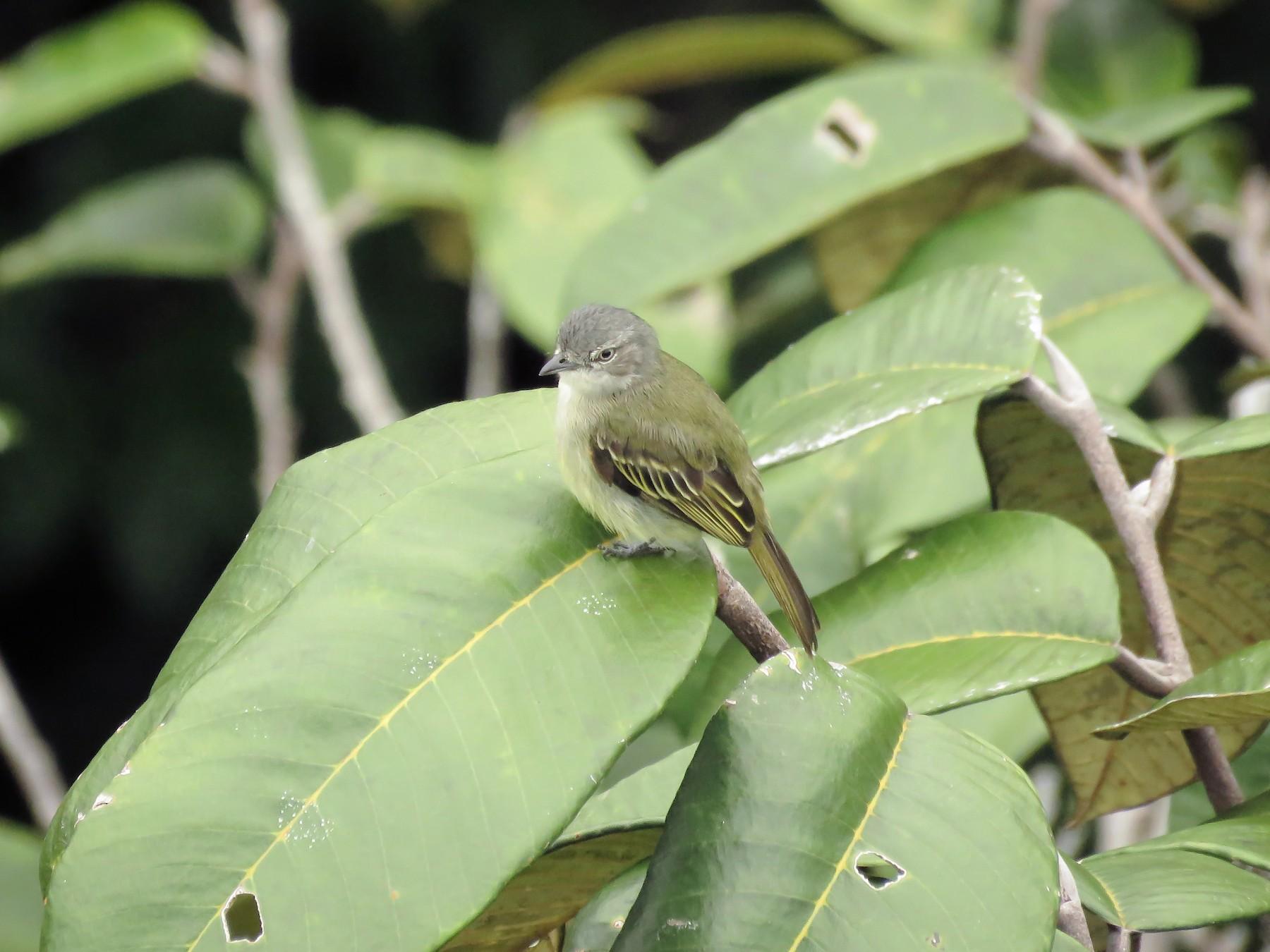 Guianan Tyrannulet - Arthur Gomes