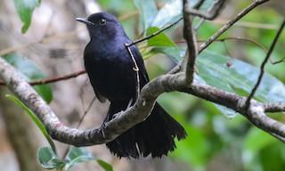 - Black Catbird