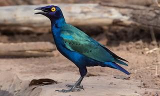 - Purple Starling