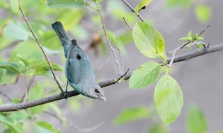 - Glaucous Tanager