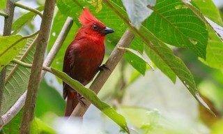 - Crested Ant-Tanager