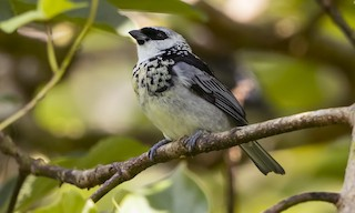 - Gray-and-gold Tanager