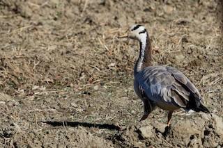 Bar-headed Goose, ML181647601