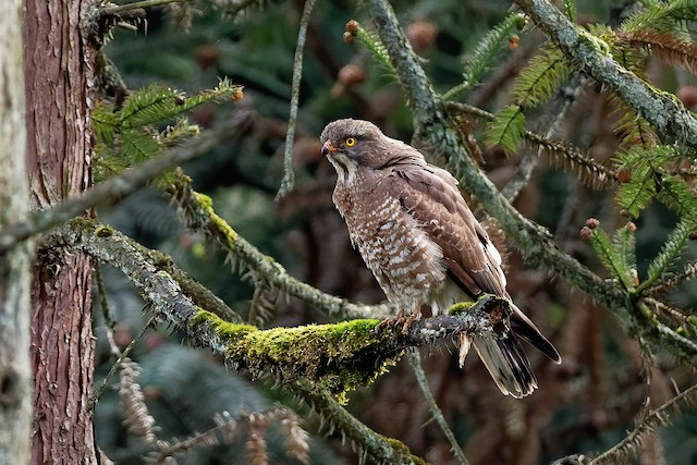 Gray-faced Buzzard