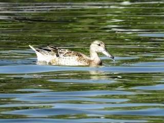 Blue-winged Teal, ML181806351
