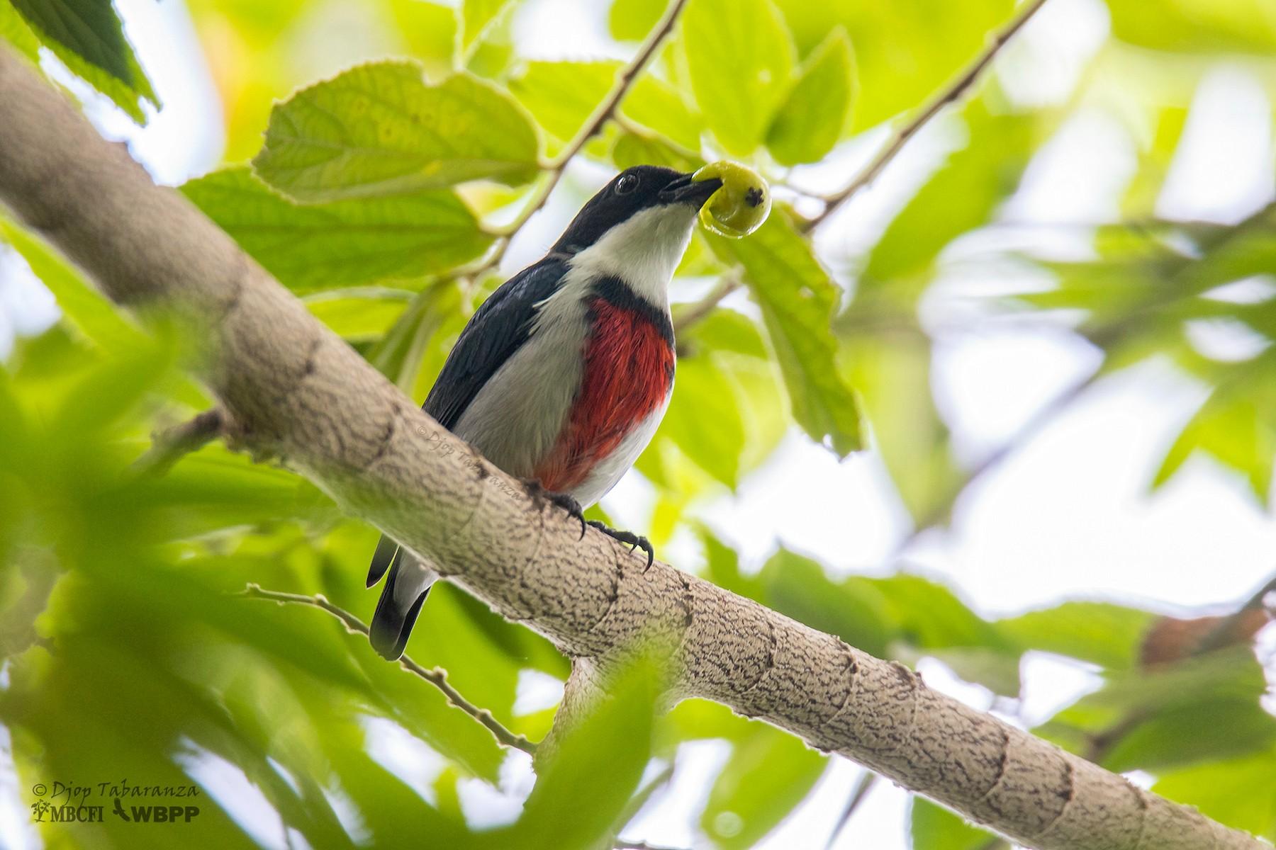 Black-belted Flowerpecker - Djop Tabaranza