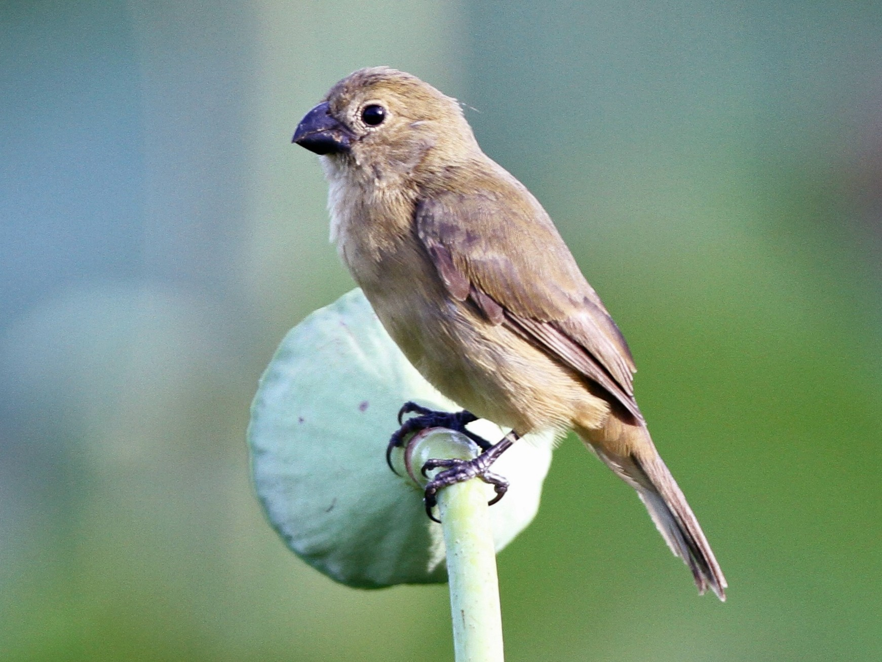 Wing-barred Seedeater - Alex Wiebe