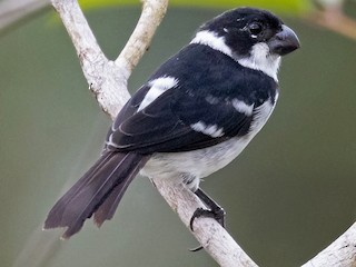 - Wing-barred Seedeater