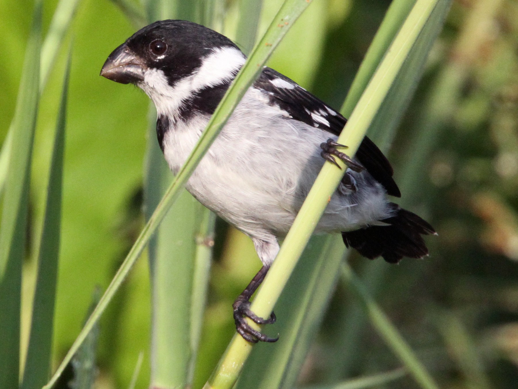 Wing-barred Seedeater - Thompson Ian
