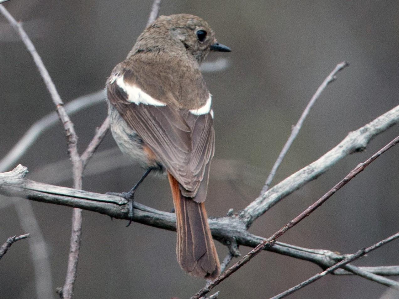 White-throated Redstart - Ian Davies