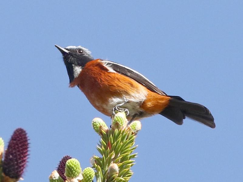 White-throated Redstart - Charley Hesse TROPICAL BIRDING