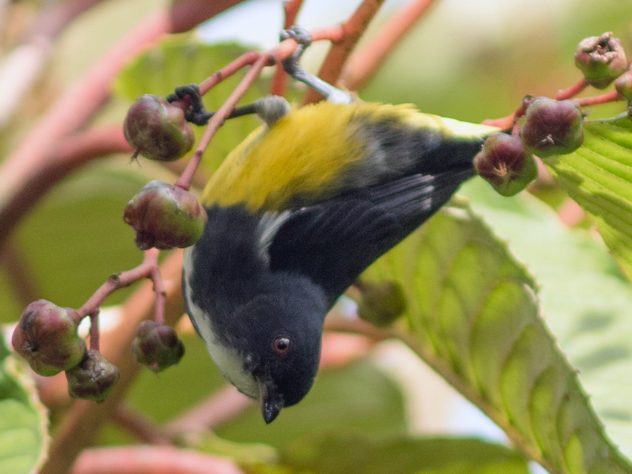 Yellow-bellied Flowerpecker - Doug Hitchcox