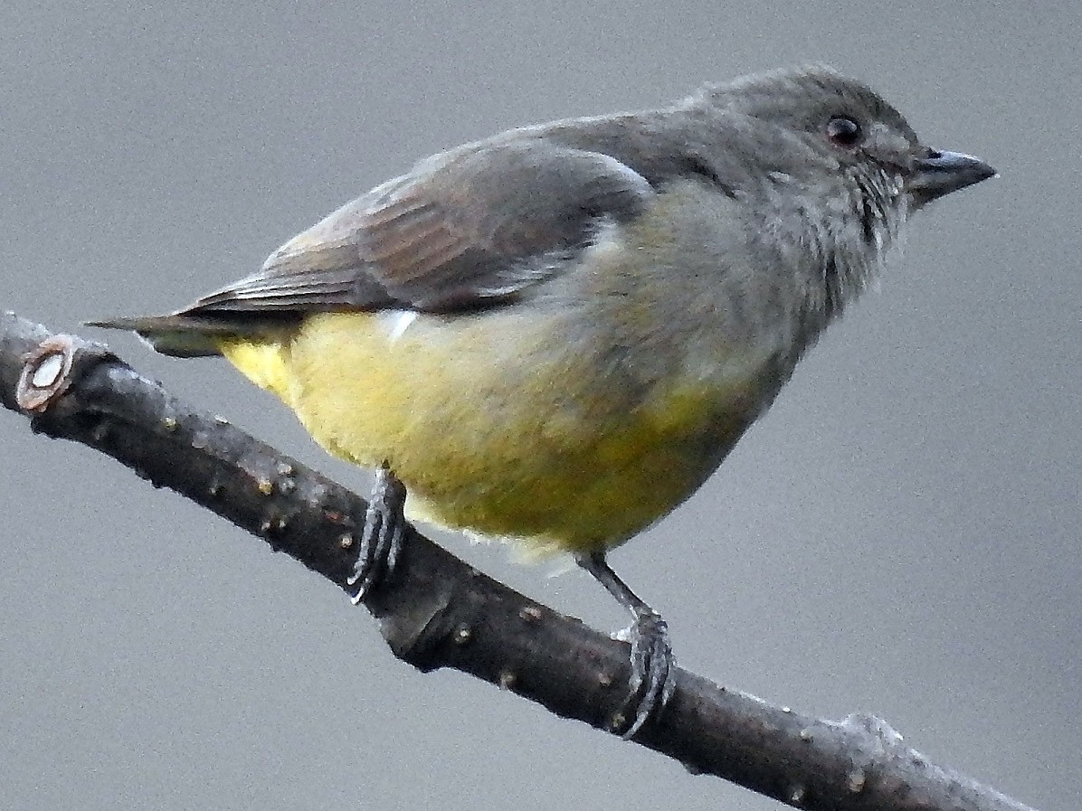 Yellow-bellied Flowerpecker - Sahana M