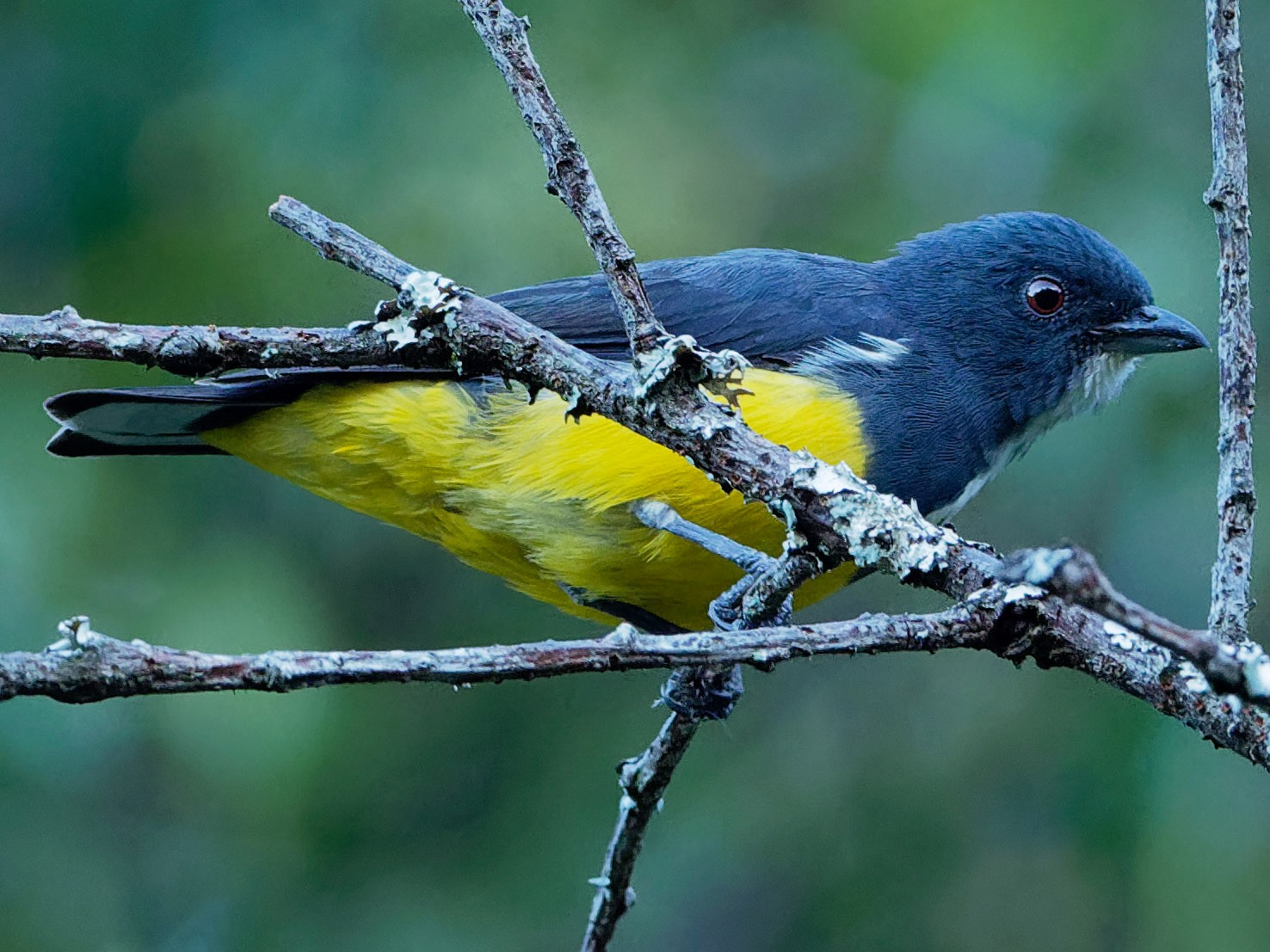 Yellow-bellied Flowerpecker - Vincent Wang