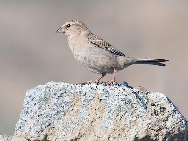 Saxaul Sparrow - Craig Brelsford