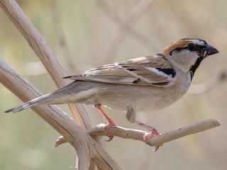 - Saxaul Sparrow