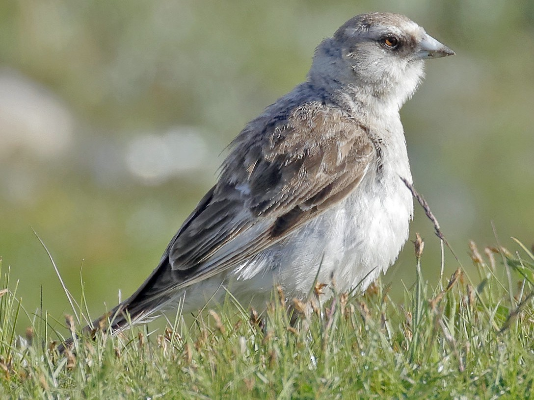 White-rumped Snowfinch - Dave Curtis