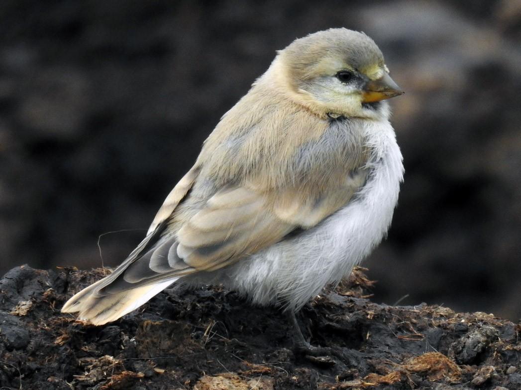 Blanford's Snowfinch - Anonymous eBirder
