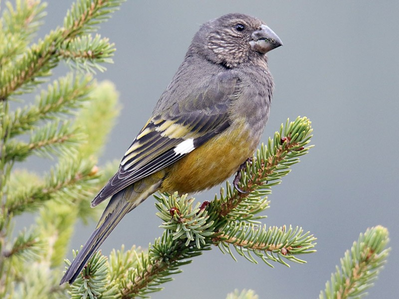 White-winged Grosbeak - Pavel Parkhaev