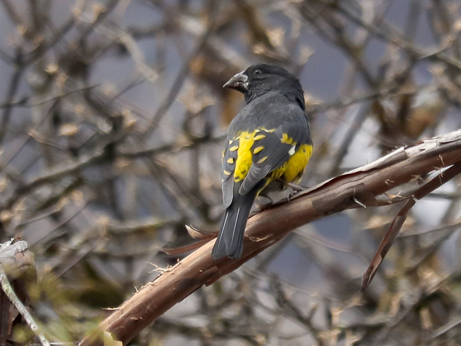 White-winged Grosbeak - Sibasish Sahoo