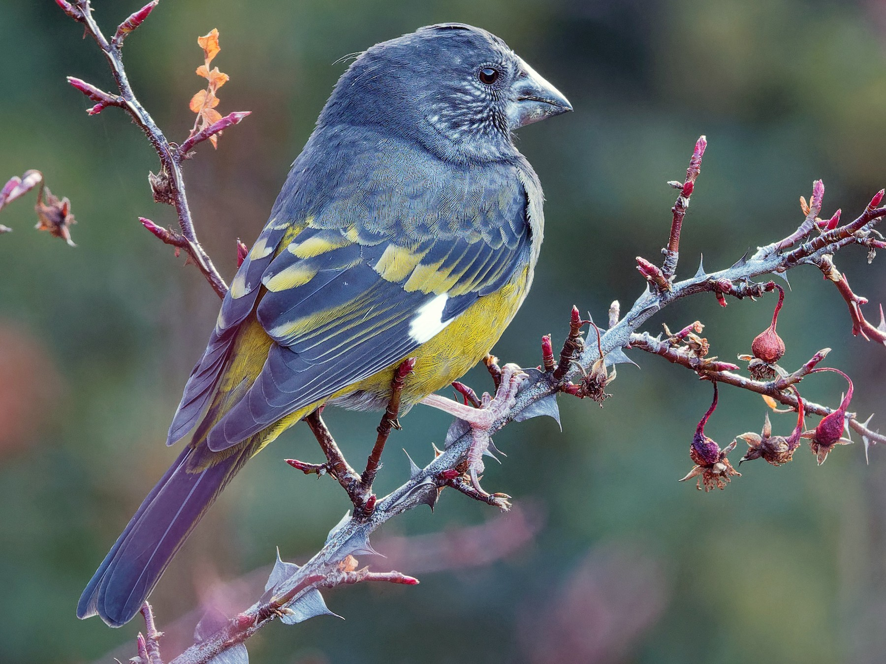 White-winged Grosbeak - Vincent Wang