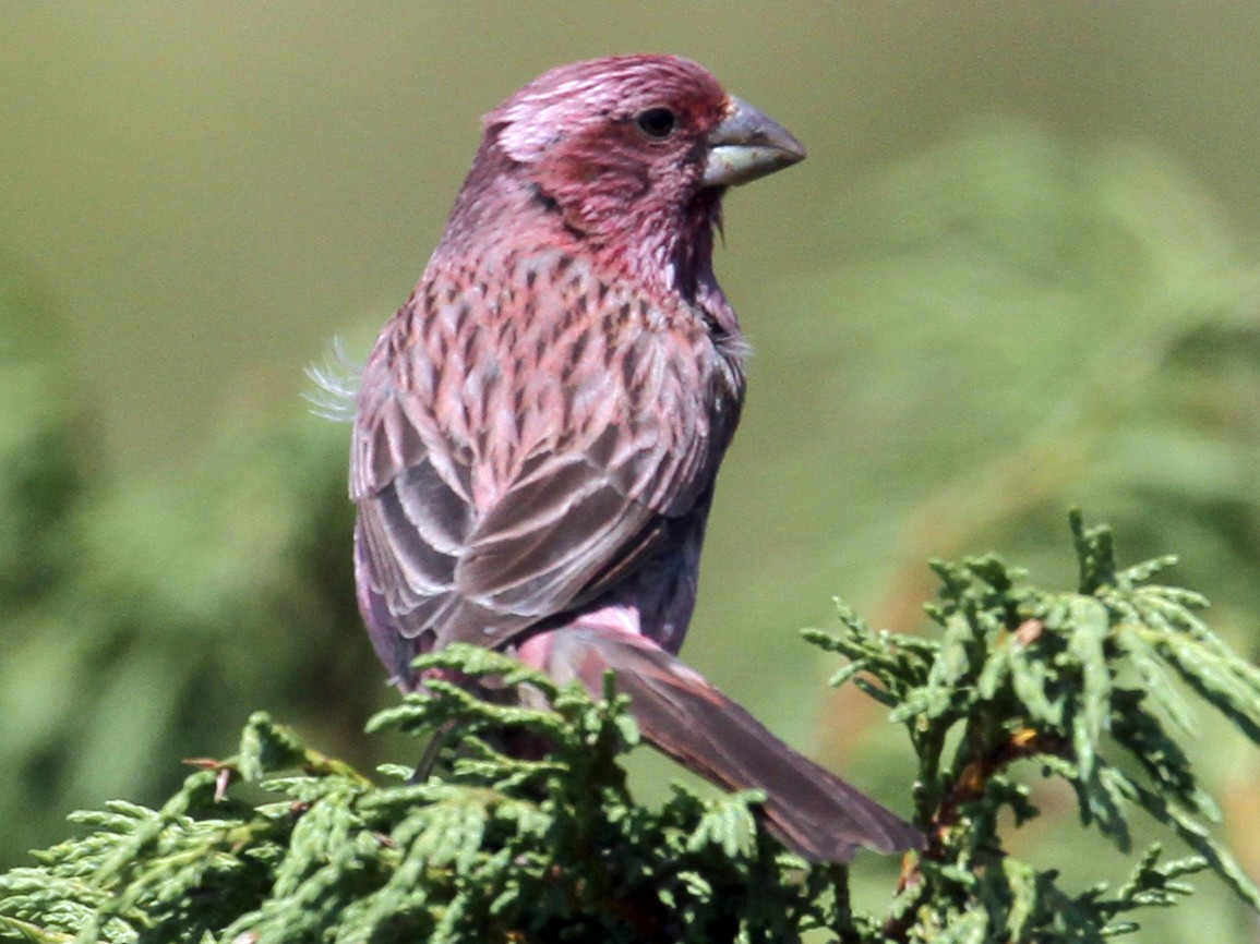 Red-mantled Rosefinch - Oscar Campbell