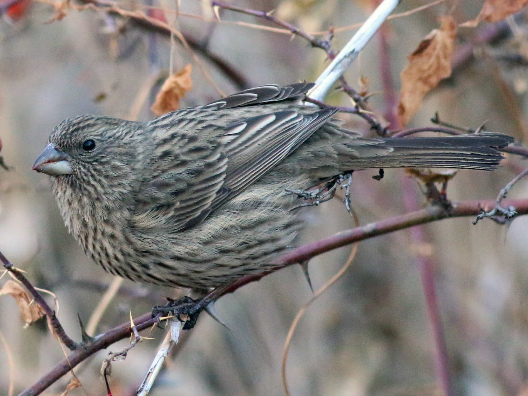 Red-mantled Rosefinch - Fishing Cat