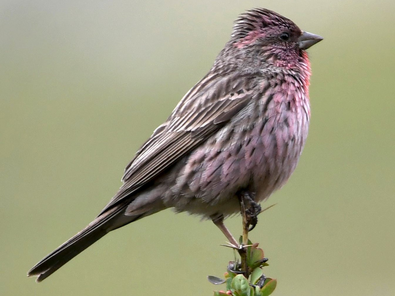 Himalayan Beautiful Rosefinch - Pradeep Sangwan
